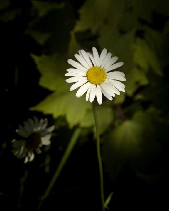 Ox-Eye-Daisy-e